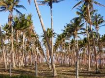 Palm Plantation Vanuatu